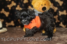 Jake Male CKC Maltipoo $1750 BUT WAIT LABOR DAY SPECIAL NOW $1500 Ready 8/18 AVAILABLE