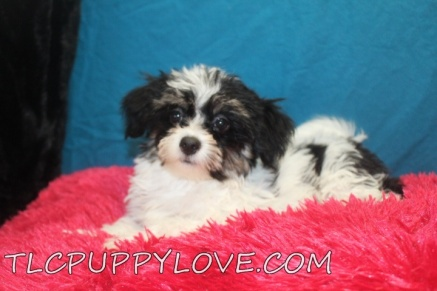 Chloe Female CKC Havanese $2000 BUT WAIT SUMMER SPECIAL $1600 Ready 7/7 SOLD MY NEW HOME ST SIMON ISLAND, GA