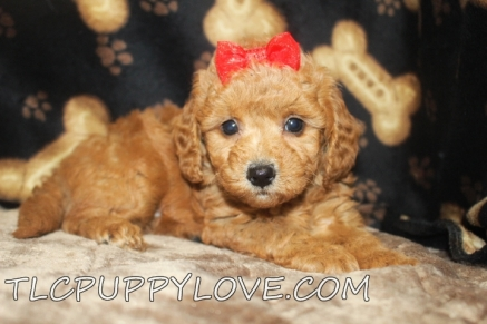 Bailey Female Mini CKC Labradoodle $2000 Ready 8/31 SOLD MY NEW HOME JAX, FL