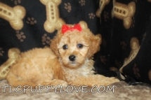 BELLA Female Mini CKC Labradoodle $2000 Ready 8/31 SOLD MY NEW HOME JAX, FL