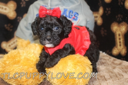 Giggles Female CKC Shihpoo $1750 Ready 9/14 AVAILABLE