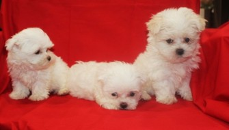 1Gracie Maltese Litter 8 wks old 008