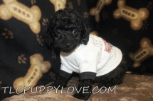 Bear Male Mini CKC Labradoodle $1750 BUT WAIT LABOR DAY SPECIAL Ready 8/31 AVAILABLE