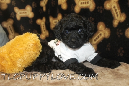 Buddy Male Mini CKC Labradoodle $1750 BUT WAIT LABOR DAY SPECIAL Ready 8/31 AVAILABLE