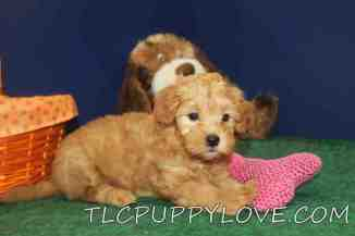 Ginger Female CKC Shihpoo $1750 Ready 9/14 SOLD MY NEW HOME APOPKA, FL