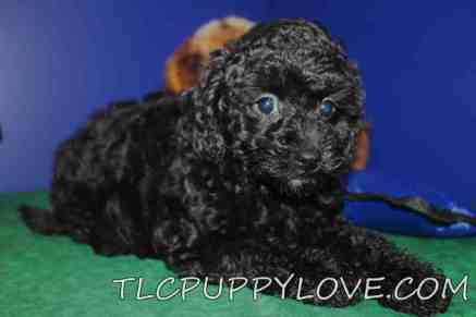 Buddy Male Mini CKC Labradoodle $1750 BUT WAIT PUPPY SPECIAL NOW $1500 Ready 8/31 AVAILABLE