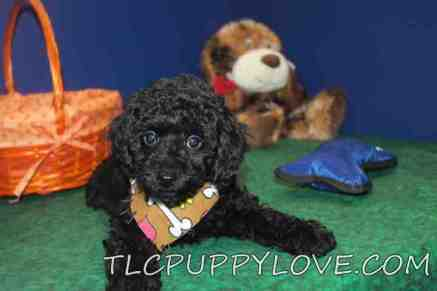 Bear Male Mini CKC Labradoodle $1750 BUT WAIT LABOR DAY SPECIAL NOW $1500 Ready 8/31 SOLD MY NEW HOME ST MARYS, GA