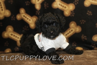Buster Male Mini CKC Labradoodle $1750 BUT WAIT LABOR DAY SPECIAL NOW $1500 Ready 8/31 AVAILABLE
