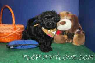Gator Male CKC Shihpoo $1750 Ready 9/14 SOLD MY NEW HOME NEW HAVEN CT