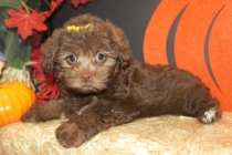 YoYo Female CKC Yorkipoo $1750 Ready 9/27 SOLD MY NEW HOME CAPE CORAL, FL