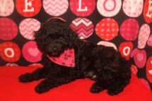 Buddy BUSTER Male Mini CKC Labradoodle $1750 BUT WAIT SPECIAL $1500 Ready 8/31 SOLD MY NEW HOME ARVADA, CO