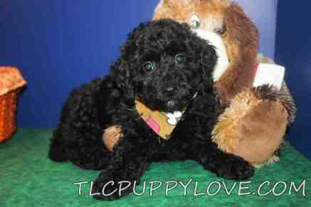 BUSTER Male Mini CKC Labradoodle $1750 Ready 8/31 HAS DEPOSIT MY NEW HOME JACKSONVILLE, FL