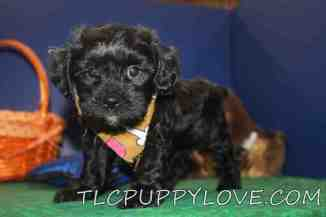 Grizzly Male CKC Shihpoo $1750 Ready 9/14 AVAILABLE