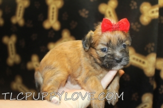 Maple Female CKC Shorkie $1750 Ready 9/15 AVAILABLE