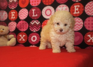 Buzz Male CKC Maltipoo $1750 Ready 9/24SOLD MY NEW HOME Jacksonville, FL