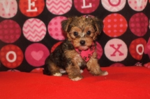 Bama Male CKC Morkie $1750 Ready 9/26 SOLDMY NEW HOME JACKSONVILLE, FL