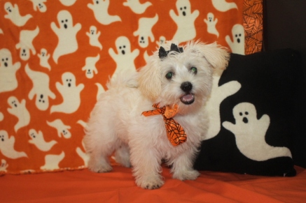 Celia Female Morkie $1750 Ready 9/21 BUT WAIT FALL SPECIAL $999 AVAILABLE