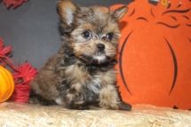 Decker Male CKC Shorkie $1750 Ready 10/7 SOLD MY NEW HOME IRVINE, CA