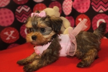 Giselle Female CKC Shorkipoo $1750 Ready 9/23 SOLD MY NEW HOME CALLAHAN, FL