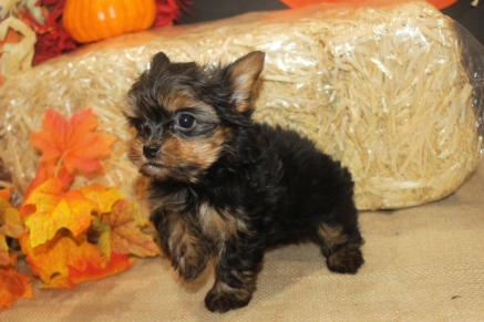 Captain Kirk Male CKC Shorkie $1750 Ready 10/7 SOLD MY NEW HOME BRUNSWICK, GA