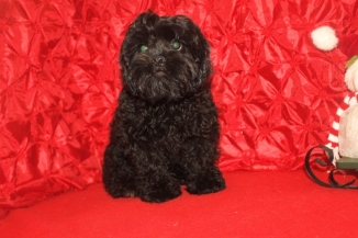 Luke Skywalker Male CKC Shihpoo $1750 BUT WAIT CHRISTMAS SPECIAL NOW $999 Ready 10/17 HAS ALL HIS PUPPY VACCINES AND RABIES THROUGH Nov 2017 SOLD MY NEW HOME FREEMON, WV