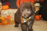 Mork Male CKC Morkipoo $1750 BUT WAIT FALL SPECIAL $1500 Ready 9/27 SOLD MY NEW HOME GREEN COVE SPRINGS, FL