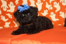 Phoebe Female CKC Shorkipoo $1750 Ready 9/23 SOLD MY NEW HOME CUBA