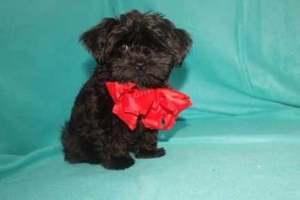 Prince Edward Male CKC Shorkipoo $1750 BUT WAIT SPECIAL $1500 Ready 9/23 AVAILABLE