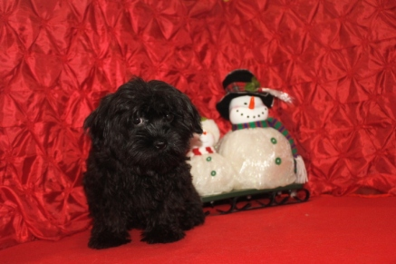 Prince Edward Male CKC Shorkipoo $1750 BUT WAIT CHRISTMAS SPECIAL $1500 Ready 9/23 SOLD MY NEW HOME WAYCROSS, GA