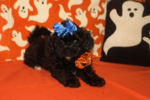 Princess Leia Female CKC Shihpoo $ 1750 BUT WAIT FALL SPECIAL NOW $1500 Ready 10/17 AVAILABLE