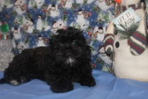Princess Leia Female CKC Shihpoo $ 1750 BUT WAIT FALL SPECIAL NOW $1500 Ready 10/17 WITH ALL HER SHOTS AVAILABLE