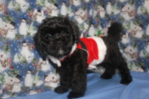 R2-D2 Male CKC Shihpoo $1750 BUT WAIT FALL SPECIAL NOW $1250 Ready 10/17 WITH ALL HIS SHOTS AVAILABLE