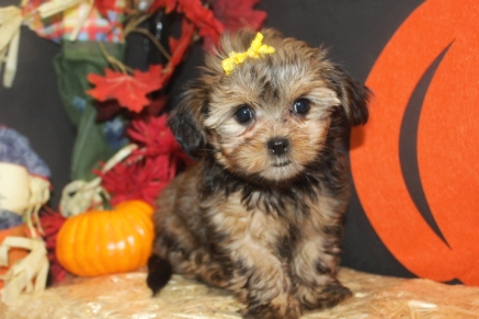 Rapunzel Female CKC Shorkipoo $1750 Ready 9/23 HAS DEPOSIT MY NEW HOME AUGUSTA, GA