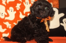Razor Male CKC Shihpoo $1750 BUT WAIT FALL SPECIAL $999 Ready 10/1 AVAILABLE
