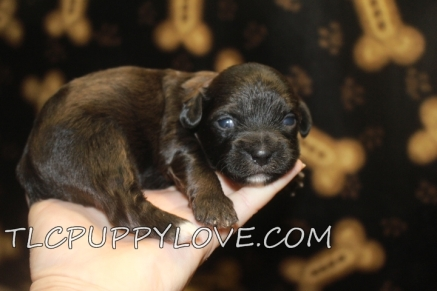 Remington Male CKC Shihpoo $1750 Ready 10/1 AVAILABLE