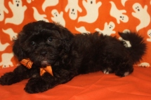 Remington Male CKC Shihpoo $1750 BUT WAIT FALL SPECIAL NOW $999 Ready 10/1 AVAILABLE