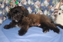 Remington Male CKC Shihpoo $1750 BUT WAIT FALL SPECIAL NOW $999 Ready NOW AVAILABLE