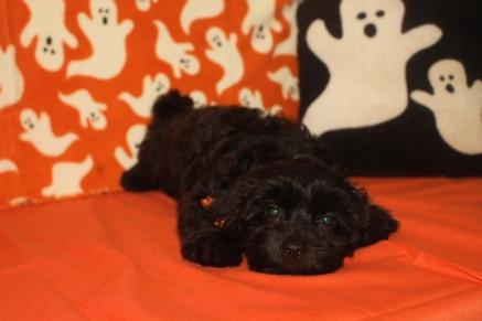 Riley Male CKC Shihpoo $1750 BUT WAIT FALL SPECIAL $999 Ready 10/1 AVAILABLE