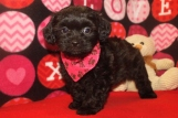 Riley Male CKC Shihpoo $1750 Ready 10/1 AVAILABLE