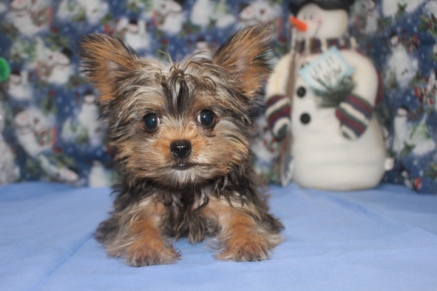 Scotty Male T-Cup CKC Shorkie $2500 SPECIAL $1750 Ready 10/7 WITH ALL HIS PUPPY SHOTS AVAILABLE