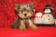 Scotty Male T-Cup CKC Shorkie $2500 SPECIAL $1750 Ready 10/7 WITH ALL HIS PUPPY SHOTS SOLD NEW HOME JACKSONVILLE, FL