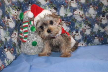 Sulu Male CKC Shorkie $2500 BUT WAIT SPECIAL $1750 Ready 10/7 SOLD MY NEW HOME NY