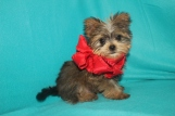 Sulu Male CKC Shorkie $1750 Ready 10/7 AVAILABLE