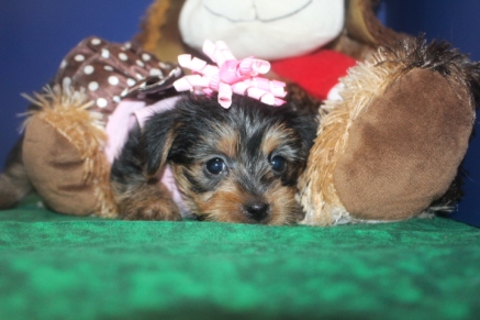 Yahtzee Female CKC Yorkipoo $1750 Ready 9/27 HAS DEPOSIT NEW HOME JACKSONVILLE, FL