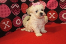 FiFi Female CKC Malshipoo $1750 Ready 10/11 SOLD MY NEW HOME JACKSONVILLE, FL