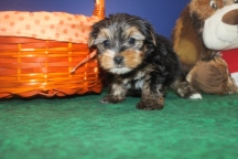 Jax Male CKC Morkie $1750 Ready 9/26 HAS DEPOSIT MY NEW HOME IS JACKSONVILLE, FL