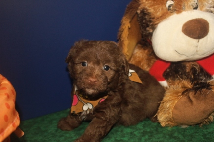 Mork Male CKC Morkipoo Sold