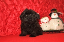 Prince Edward Male CKC Shorkipoo $1750 BUT WAITCHRISTMAS SPECIAL $1250 Ready 9/23 SOLD MY NEW HOME WAYCROSS, GA