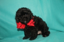 R2-D2 Male CKC Shihpoo $1750 BUT WAIT CHRISTMAS SALE NOW $1250 Ready 10/17 AVAILABLE