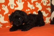 R2-D2 Male CKC Shihpoo $1750 BUT WAIT FALL SPECIAL NOW $1250 Ready 10/17 AVAILABLE